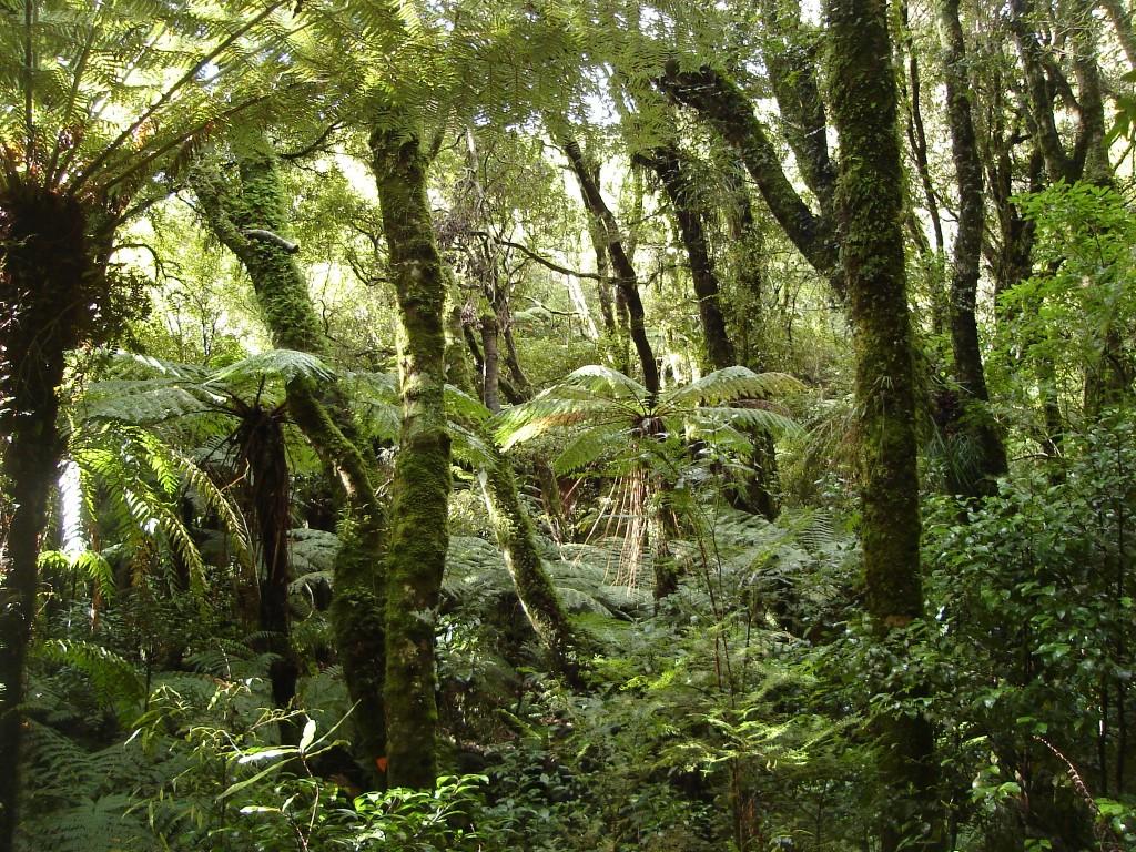 Rain_forest_NZ